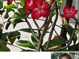 5 Bunga Adenium Hadiah Lebaran Terbaikku